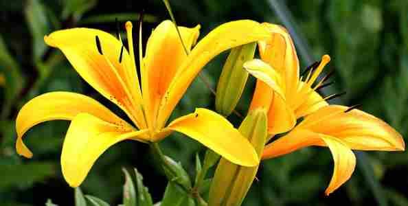 type of flowering bulb