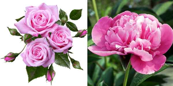 Type of flowers: Perennials (roses and peony)