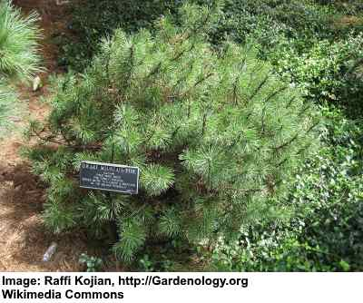 pinus mugo mops (Mugo Pine) is one of the dwarf evergreen trees for landscaping