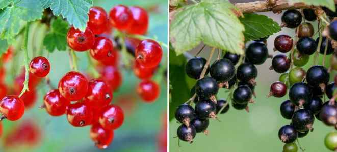 black and red currants