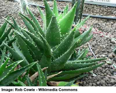 Golden Toothed Aloe