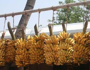 Indian bananas
