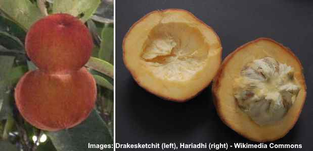 Korean persimmon