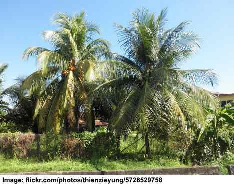 Malayan Dwarf Coconut