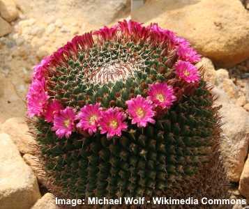 Mammillaria mystax