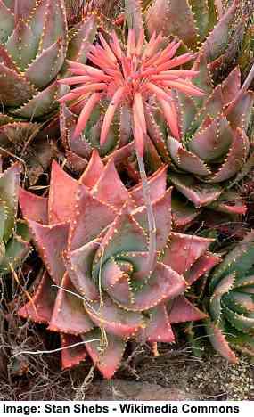 Rubble Aloe