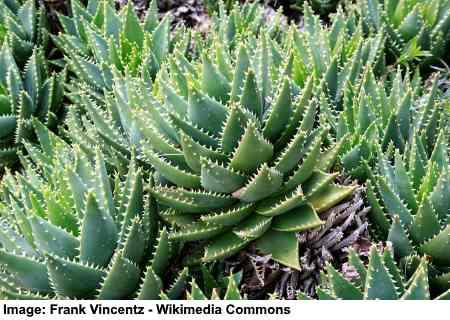 Short-Leafed Aloe
