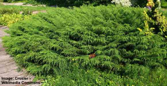 Siberian Carpet Cypress