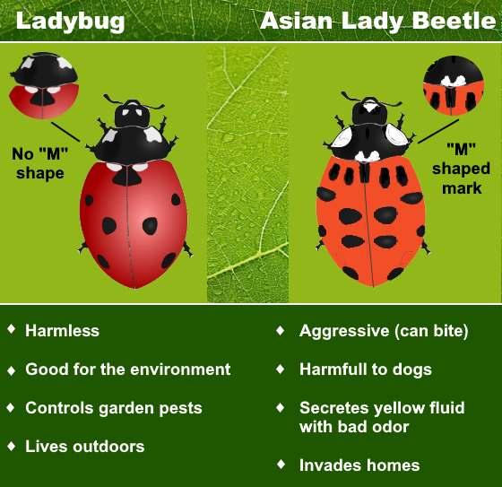 Types Of Ladybugs (Including Asian Lady Beetle Vs. Ladybug