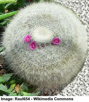 old lady cactus (scientific name: Mammillaria hahniana)
