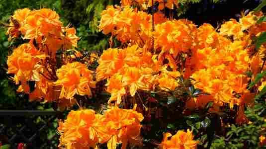 Deciduous Azaleas 'Golden Lights'