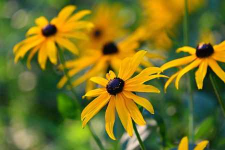 Rudbeckia has yellow flowers with black center