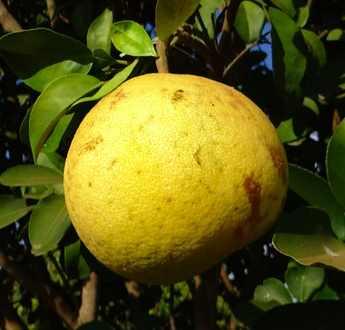 duncan grapefruit