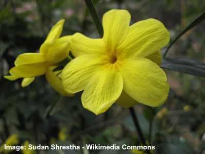 florida jasmine