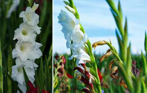 Gladiolus with tall stems and trumpet-shaped white flowers