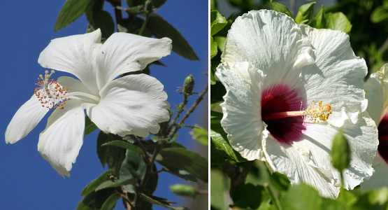 Hibiscus shrub with large white flowers