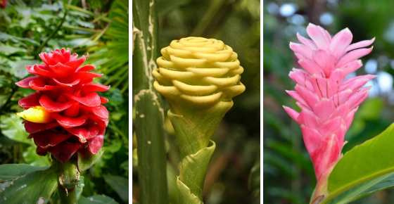 Types of Ginger Root and Ornamental Ginger Plants