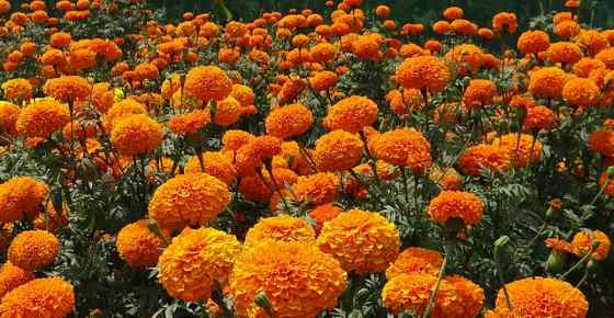 orange flowering plants