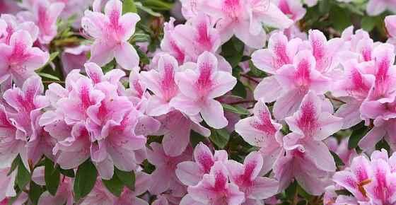 Types of Azaleas: Varieties of Azaleas