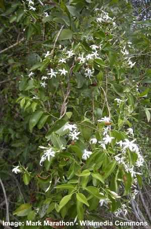 stiff jasmine