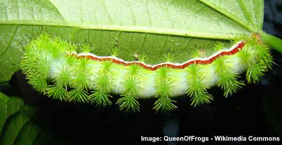 Furry Caterpillar Types With An Identification Chart And