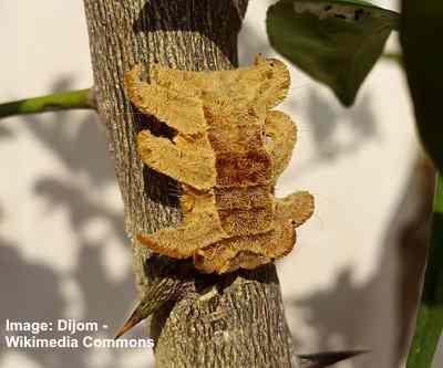 Monkey Slug Caterpillar