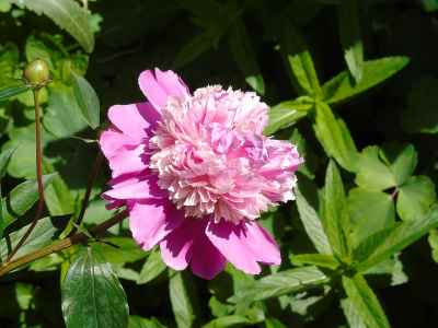 Peony 'Pink Derby'