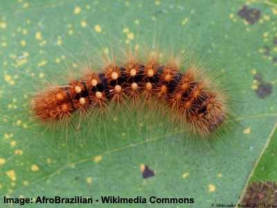 Scarce Dagger caterpillar