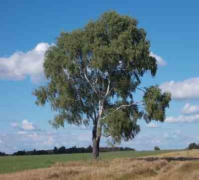 Silver birch Betula pendula