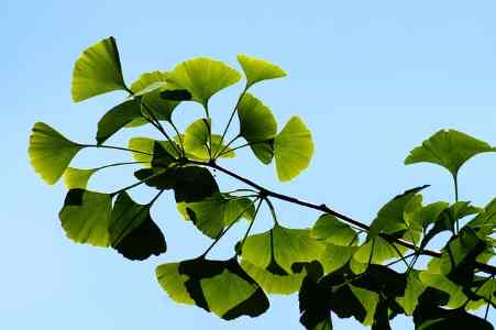 ginkgo is a unique plant - it is one of the oldest types of trees in the world and is a living fossil