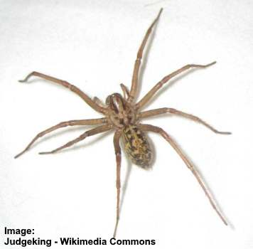 Type of spider: hobo spider