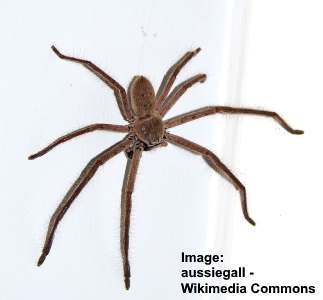 Type of spider: huntsman spider