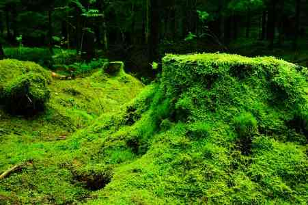 moss - a type of seedless plant