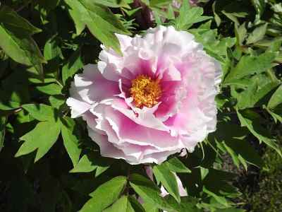 peony first arrival