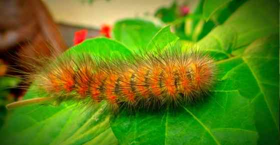 Furry Caterpillars