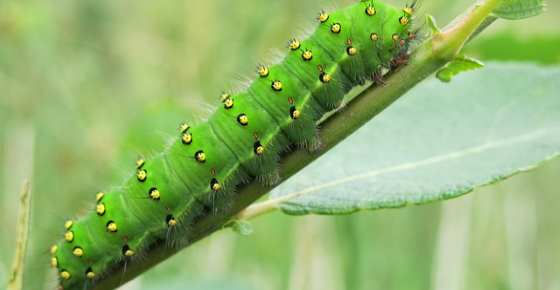 Types of Green Caterpillars with Identification Guide