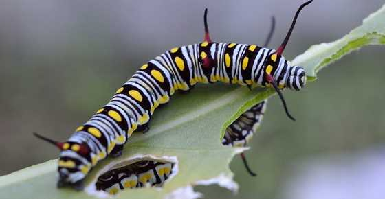 Striped Caterpillars with Picture and name