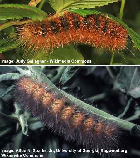 salt marsh caterpillar