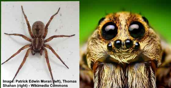 Type of spider: wolf spider