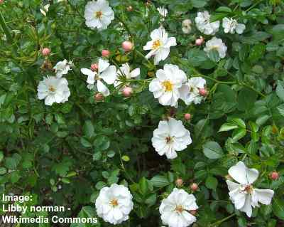 Avon ground cover rose with white flowers