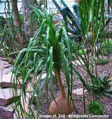 Beaucarnea recurvata (commmon names: bottle palm tree or elephant foot tree)