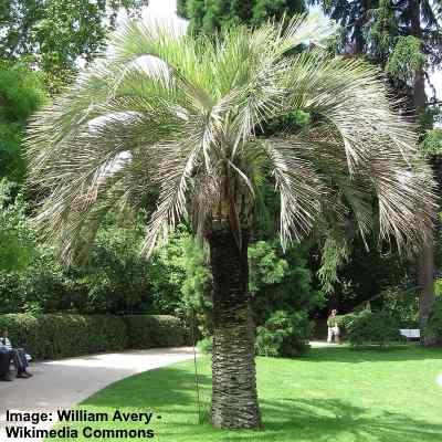 picture of Butia capitata (common name: Pindo palm tree)