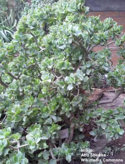rippled jade plant