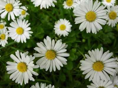English daisy
