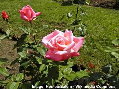 Grandiflora - Pink Parfait
