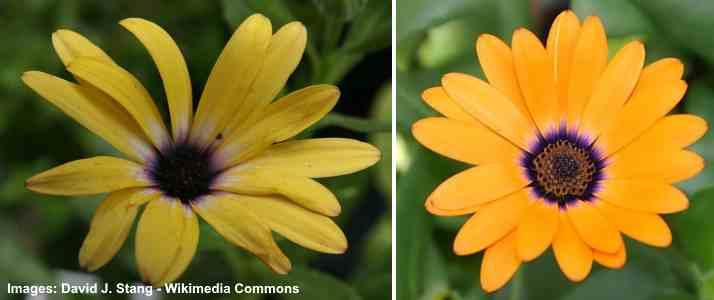 Osteospermum 'orange Symphony'