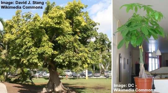 Pachira aquatica tree