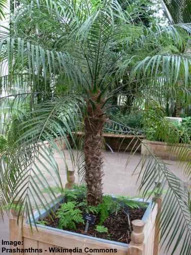 Phoenix roebelenii is a smal,l dwarf spiky palm tree