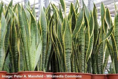 Sansevieria Trifasciata 'Laurentii'(mother in law tongue plant)