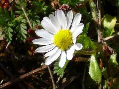 picture of bellis anuna daisy
